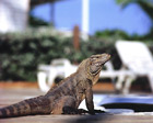 Iguana in Cayman Islands